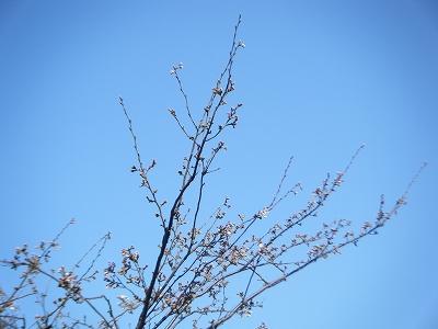 桜-001s